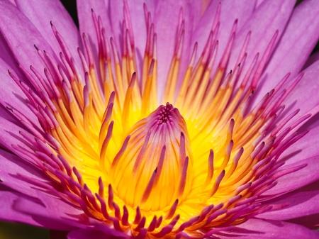 Purple lotus Stock Photo - 21886998