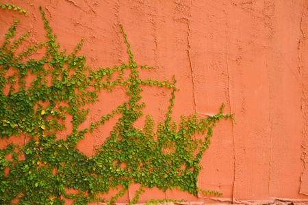 Wall with ivy vines  photo
