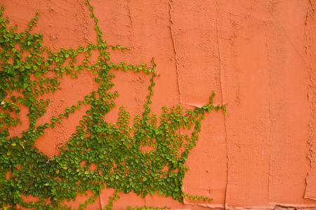 Wall with ivy vines. photo
