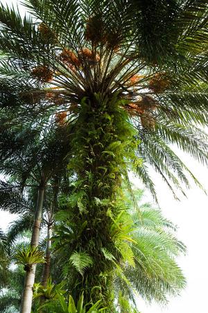 unfurl: bird nest fern Stock Photo