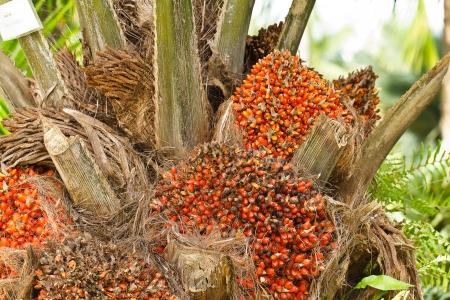naranja arbol: El aceite de palma, Tailandia Foto de archivo