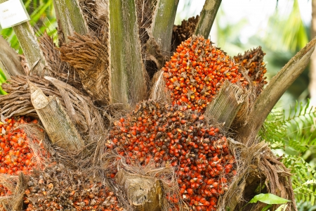 oil palm: Palm oil,Thailand Stock Photo