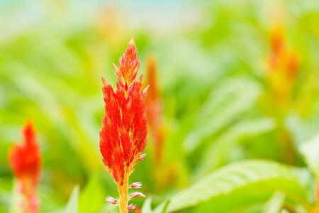 celosia: red plumped celosia flower Stock Photo