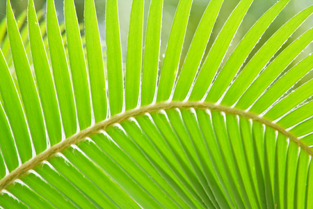 Palm leaf  photo