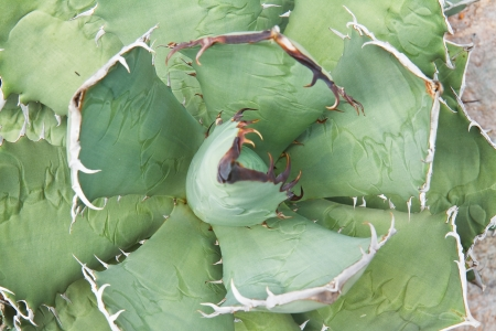 agave plant leaves photo