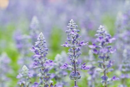 lavender flowers Archivio Fotografico