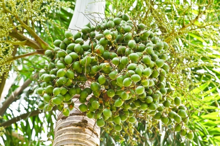 Ripe Betel Nut Or Are-ca Nut Palm On Tree photo