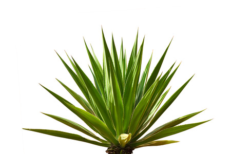 tequila: agave plant leaves