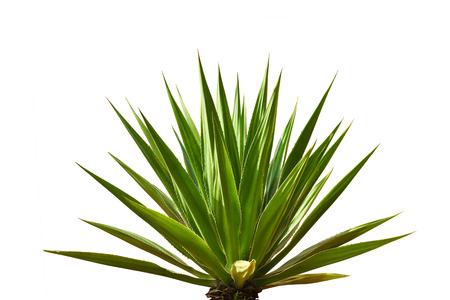 plantas del desierto: hojas de la planta de agave