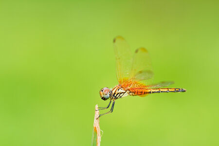 moustached: Dragonfly