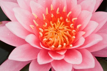 Pink Water Lily photo