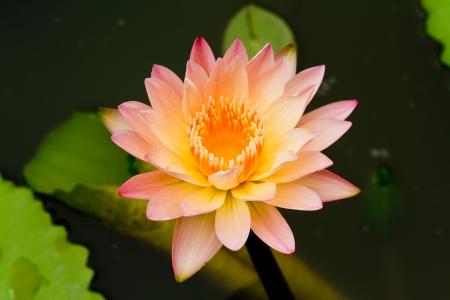 кувшинка: Pink Water Lily