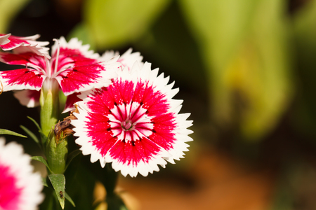 Dianthus blossoming photo