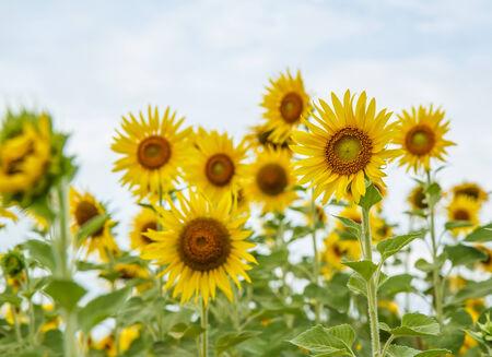 Sunflowers in Lopburi, Thailand photo