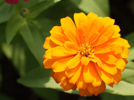 impatiens: Red impatiens flower