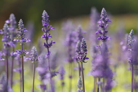 lavender coloured: Lavenders flowers Stock Photo