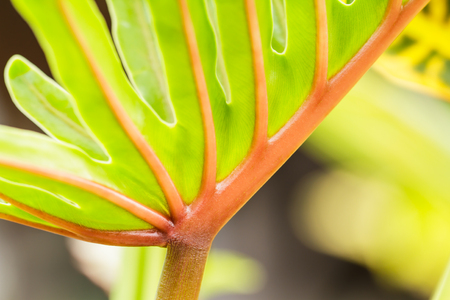 Philodendron Background photo