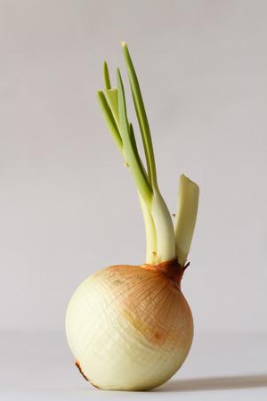 onion isolate on white background photo