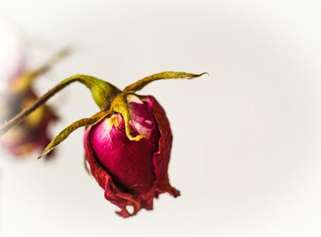 sapless: Dried rose