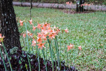 hippeastrum flower: Hippeastrum flower