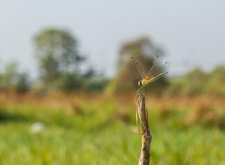 trithemis: yellow dragonfly Stock Photo