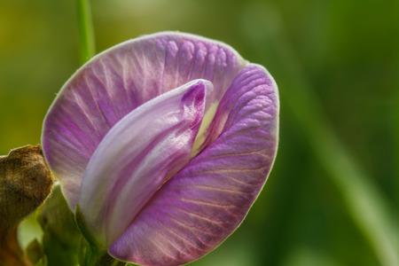 garden bean: purple flower bean in garden with vine