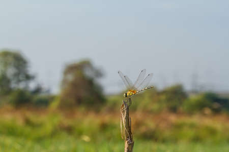 yellow dragonfly photo