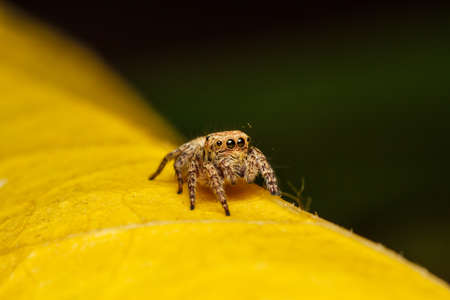 yello: jumper spider on yello leaf