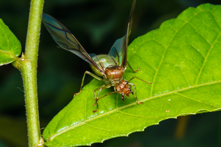 formicidae: weaver ant queen on green leaf