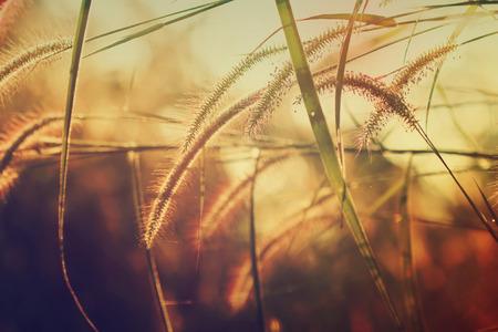 cane plumes: Prairie evening