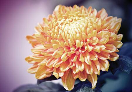 Yellow autumn chrysanthemum photo
