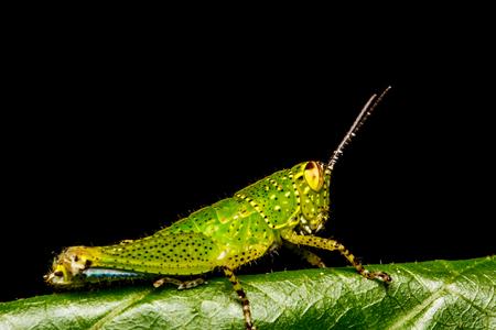 Grasshopper perching on a leaf