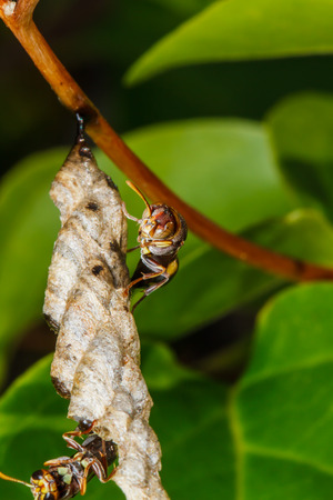 builds: Wasp builds a nest Stock Photo