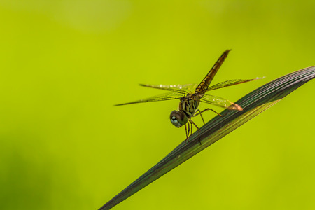 faced: Dragonfly perched on a blade of grass