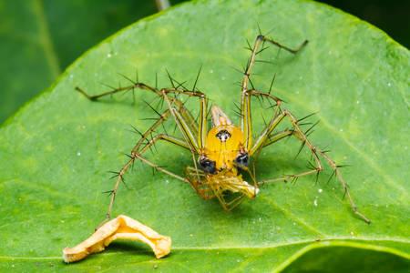 salticidae: Jumping spider on green leaf