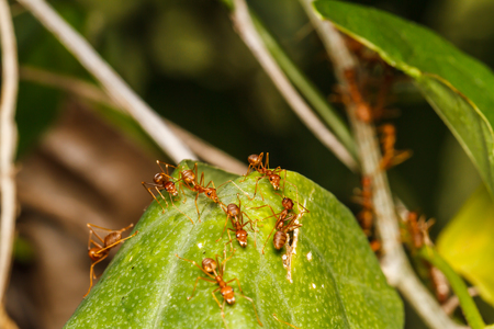 Nest of red ants photo