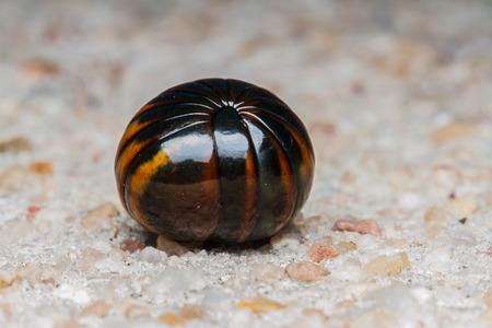 Millipede on floor photo