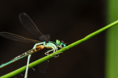 copulate: A blue and black dragonfly