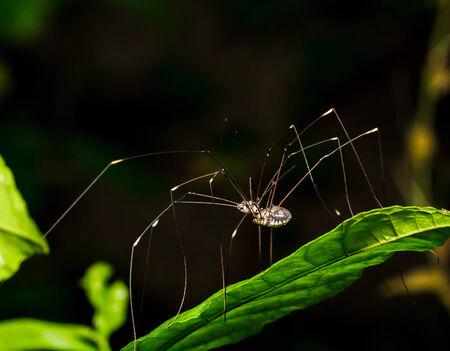 opiliones: Long legs spider