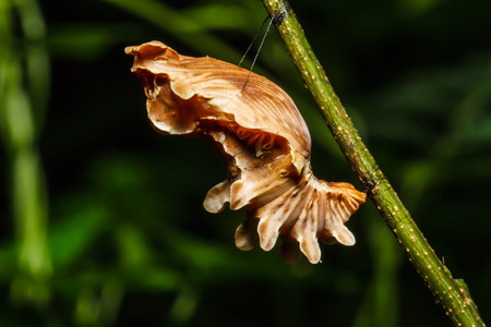 Butterfly Chrysalis photo