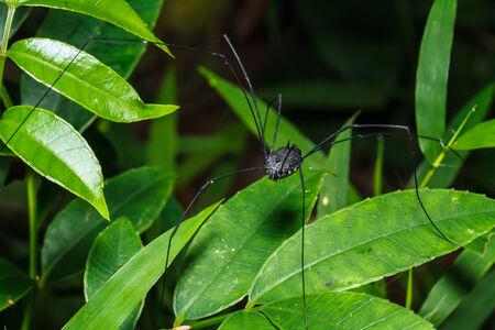 daddy long legs: Black spider long legs