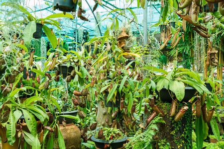 nepenthes: Nepenthes in garden Stock Photo