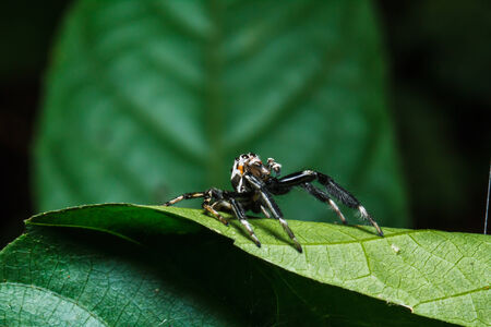 jumping spider: Jumping spider on leaf