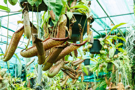 Nepenthes in garden photo
