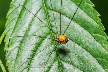 harvestmen: Black spider long legs