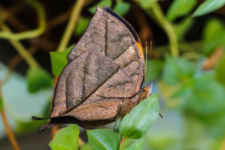 amanda: Orange oak leaf butterfly