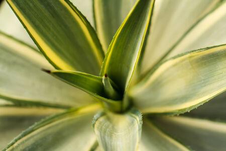 dyckia: Yellow Dyckia Plant