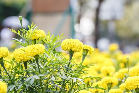 marigold: marigold flowers Stock Photo