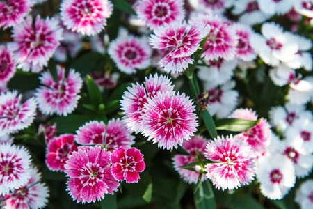 chinensis: Dianthus chinensis in garden Stock Photo