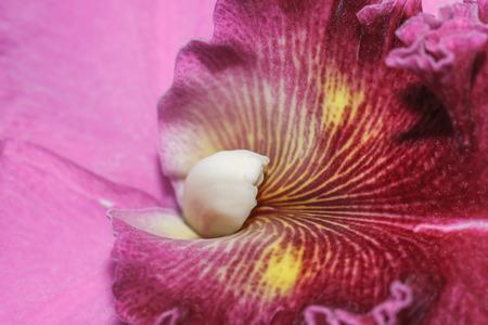 cattleya: Cattleya labiata orchids Stock Photo